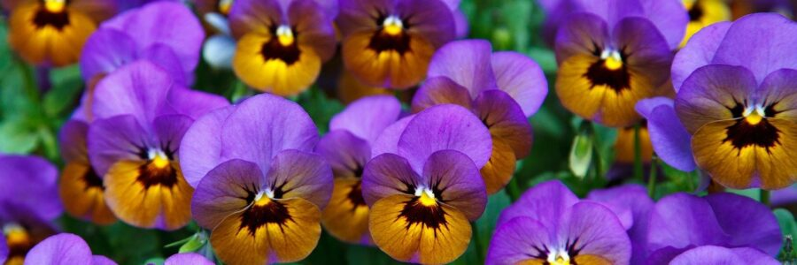 Purple Pansy Flower Image - topical steroid withdrawal